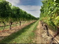 Vineyard in Mattituck New York