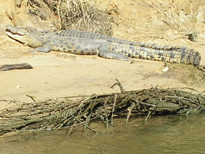 Crocodile On Edge Of River In Australia