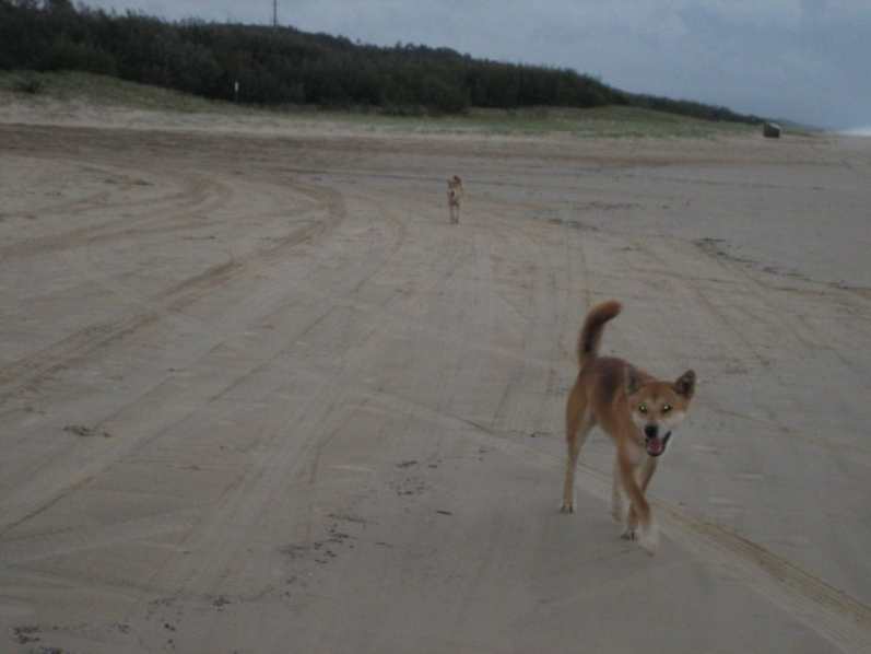 Dingo Approaching On Fraser Island